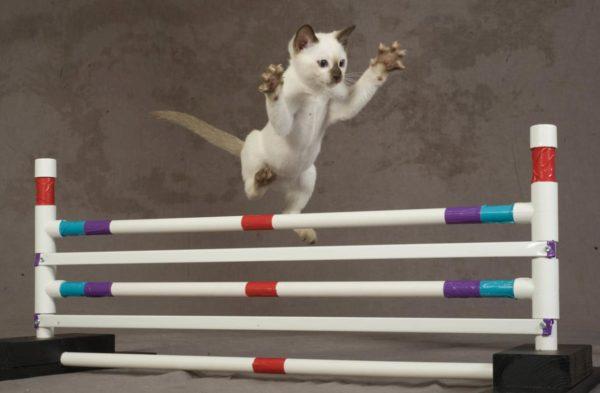 Кошки прекрасно преодолевают «прыжковые» препятствия