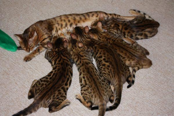 Кошка кормит совсем маленьких бенгалов