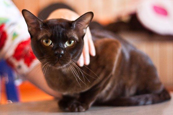 Бурманская кошка-отличный компаньон