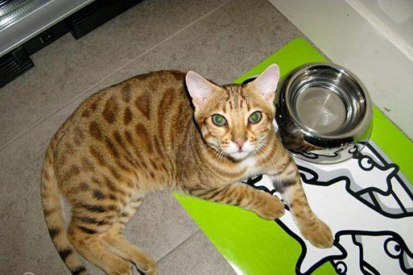 Бенгальская кошка возле миски