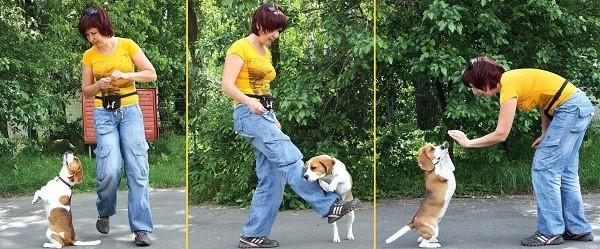 На самом деле, собаки, входящие в данную породу, прекрасно справляются с выполнением команд, нужно только правильно их обучать
