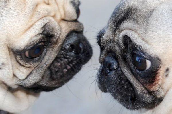 Собак-брахицефалов нужно беречь от перепадов температур