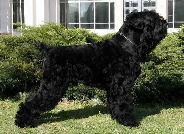 Черный терьер - собака очень преданная