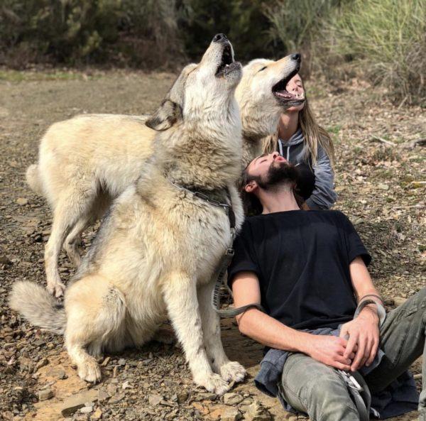 Несмотря на то, что гибрид волка и собаки похож больше на своих диких предков, душа у него по-настоящему предана человеку