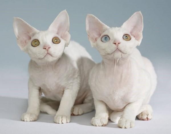 Не все котята имеют способность к продолжению рода