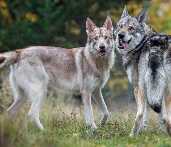 Завести такого друга сегодня простому гражданину непросто, однако, возможно в будущем волкособы станут верными спутниками любого желающего