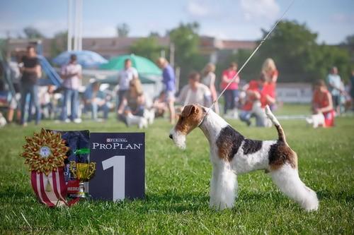 Только собаки с родословной имеют право участия в выставках