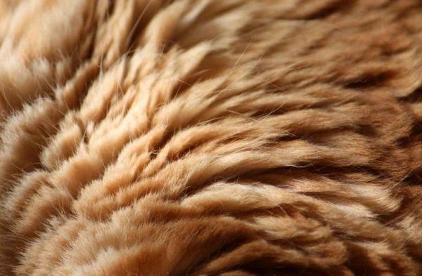 Шерсть необходимо обрабатывать специальным шампунем для котов