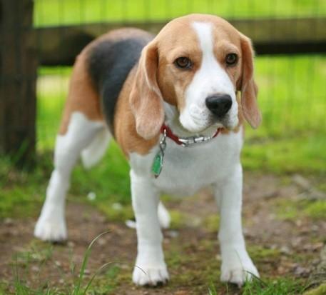 Данная порода может войти как в категорию маленьких собак, так и в категорию средних