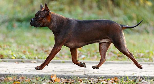При естественном стачивании когти этих собак не требуют стрижки