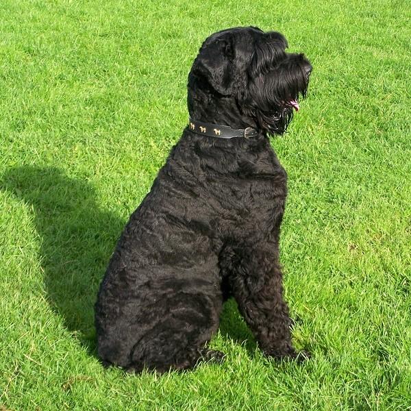 Эта собака практически не теряет шерсть вне сезонов линьки