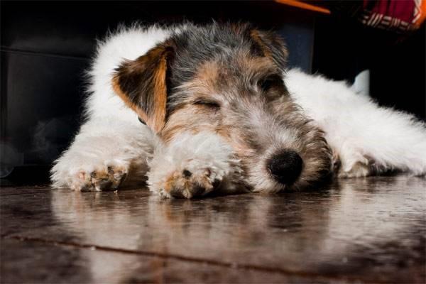 Покупая щенка, не стоит забывать, что он проживёт рядом не менее десяти лет