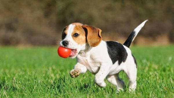 Это весьма активные собаки и они требуют высокой нагрузки
