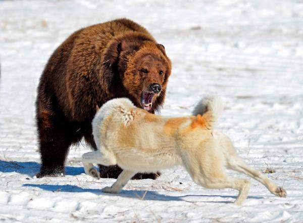 Не каждая собака справится с крупным хищником