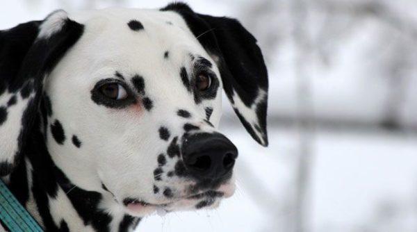 Далматин – теплолюбивый пес