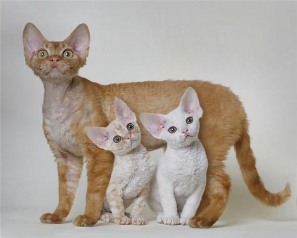 Чем младше котенок, тем проще его приучить к особенностям хозяйского восприятия домашних животных