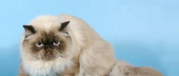 Признание гималайской породы кошек, как официальной отдельной разновидности, осуществилось только в 60 годах прошлого века, так как до этого их назвали одной из разновидностей персов