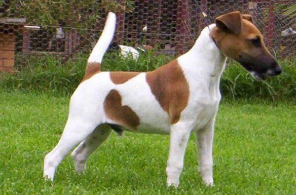 Фокстерьер: небольшой, но отчаянный и смелый пёс