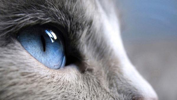 По отношению к телу глаза котов больше человеческих