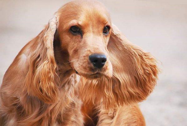 Длинные уши у собаки – повод уделять гигиене больше внимания