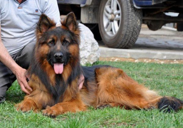 Дрессированный пес занимает положение возле хозяина