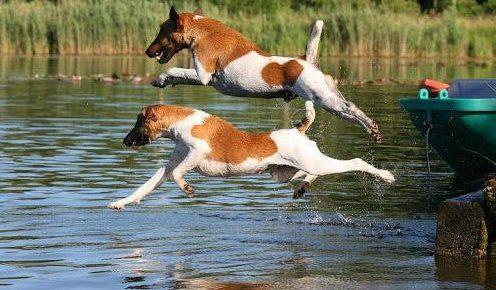 Фокстерьеры любят воду и охотно купаются