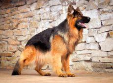 Взрослая обученная собака приносит пользу