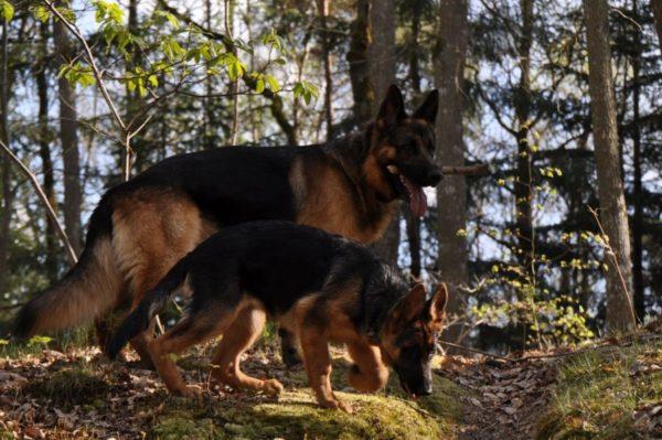 Собака должна получать знания ежедневно, это необходимость, как и прогулки или еда