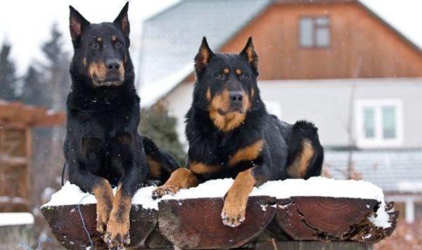 Вид этих собак столь же грозен, сколь добр их нрав
