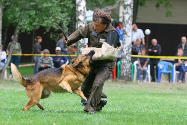Немецкая овчарка «задерживает» нападающего