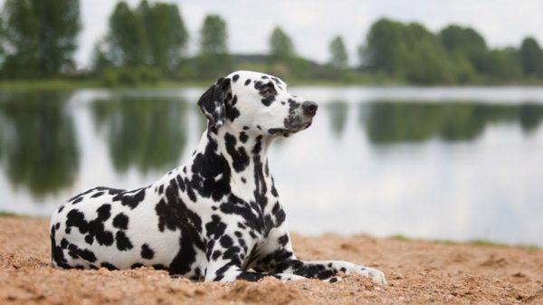 Далматин – собака спортивная и интеллектуальная