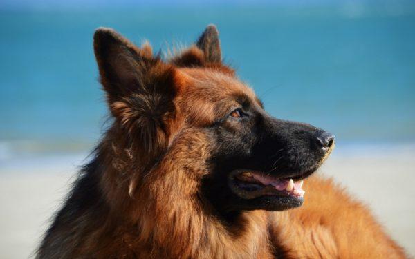 Рацион, в который входит только натуральная пища, предполагает прием витаминно-минеральных добавок, которые назначит ветеринар