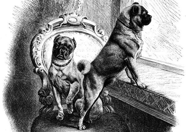 Мопсы, изображенные на гравюре