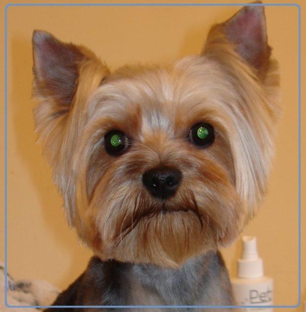 Пример подстриженных ушей йоркширского терьера