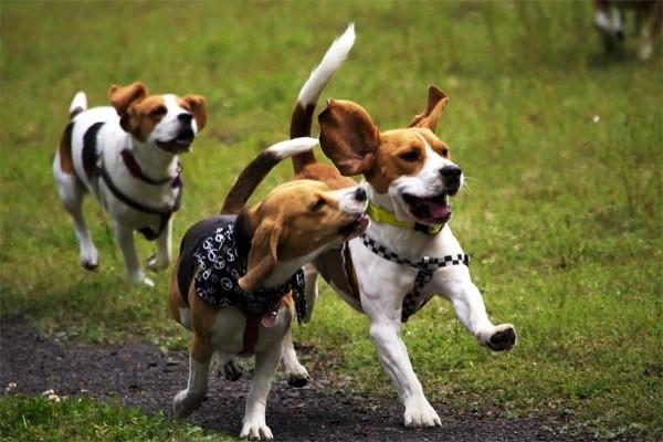 Бигль - собака очень активная, поэтому приобретать ее для детей - плохая затея