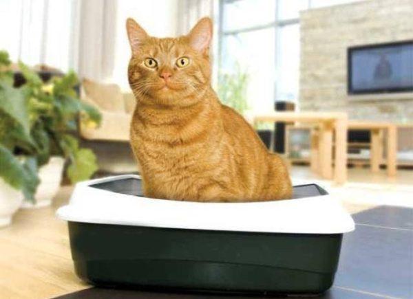 Если кошка хочет сходить в туалет, но не может – проблема требует вмешательства доктора