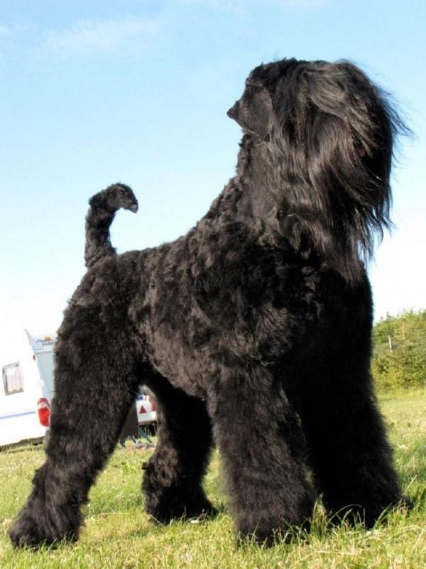 Черный русский терьер – порода, которая считается одной среди самых юных, среди отечественных экземпляров