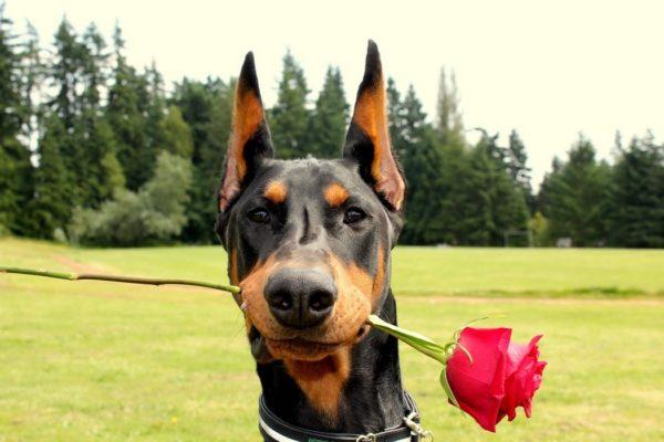 Открытые стоячие уши собаки обычно не доставляют хлопот владельцу