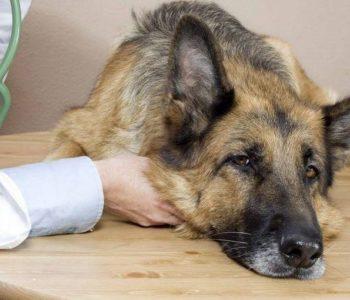 Гепатитом может заболеть собака любого возраста