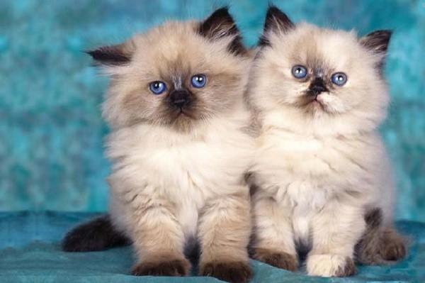 Глаза у гималайских кошек большие, при этом широко распахнутые и округлые, по цвету совпадают с оттенками шерстяного покрова