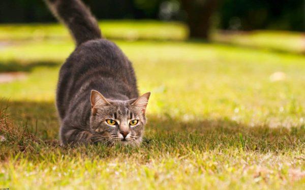 Кошки предпочитают охотиться самостоятельно