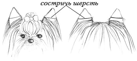 Схема стрижки ушей йоркширского терьера