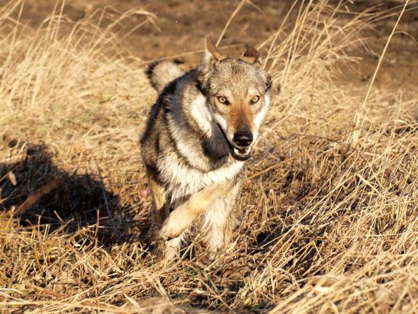Волкособы редко привязываются к хозяину