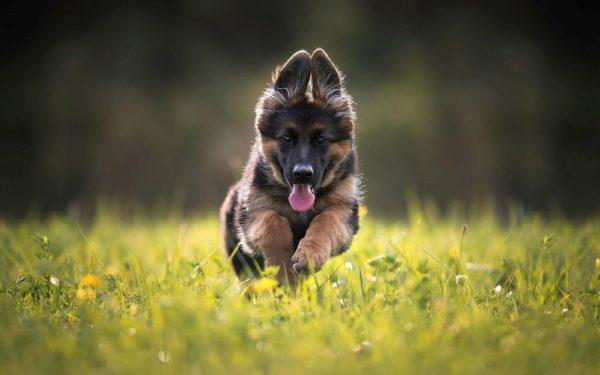 Здоровый щенок – радостный и активный