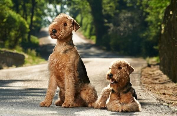 Тело у этих собак небольшое, но мощное