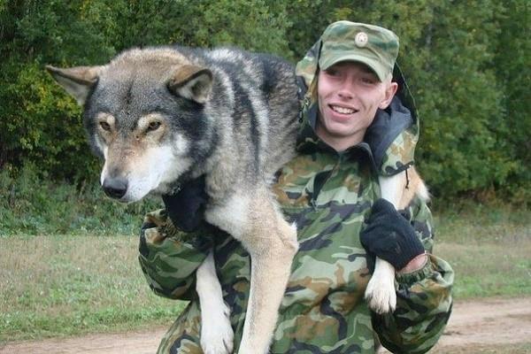 Эти собаки используются отечественными силовыми структурами, так как их ценным породным качествам нет равных