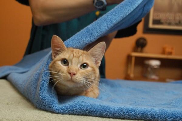 Пока кошка не подозревает о предстоящей процедуре, она не будет сопротивляться «укутыванию»