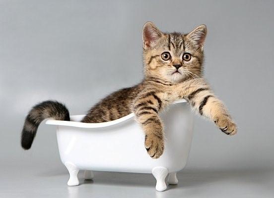 Умение плавать – врождённый инстинкт кошек