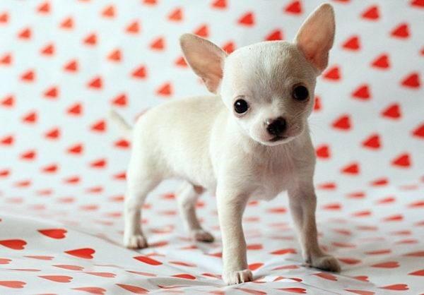 Эти собаки, вопреки сложившемуся о них мнению, могут стать достойными компаньонами и членами семьи человека