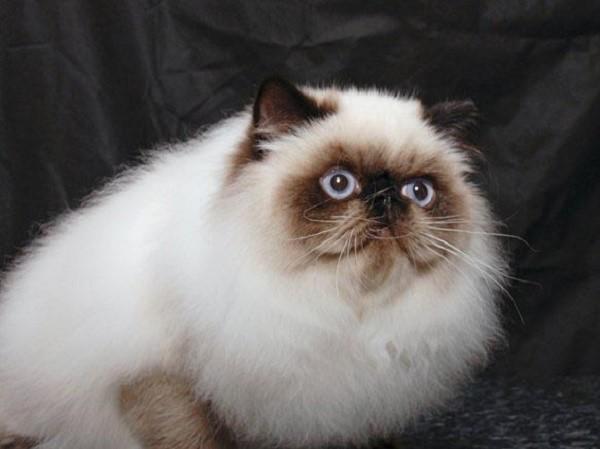 Окрас гималайских кошек обретает окончательный рисунок только к двум-трем годам жизни конкретной особи